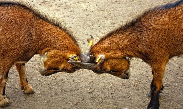 When Goats Collide